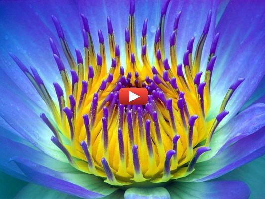 Fleur aux pétales violettes et au cour jaune